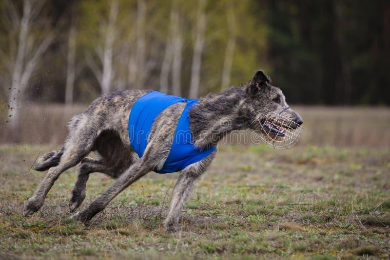 percorrer Cão do Wolfhound irlandês fotografia de stock