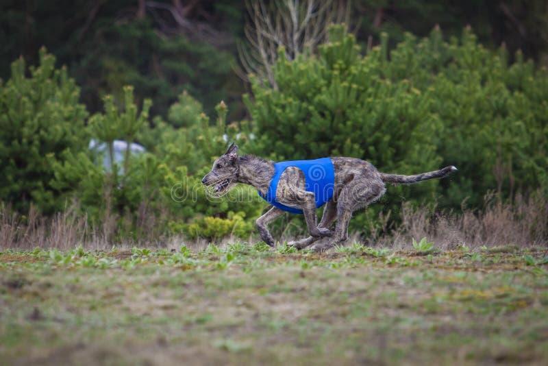 percorrer Cão do Wolfhound irlandês foto de stock royalty free