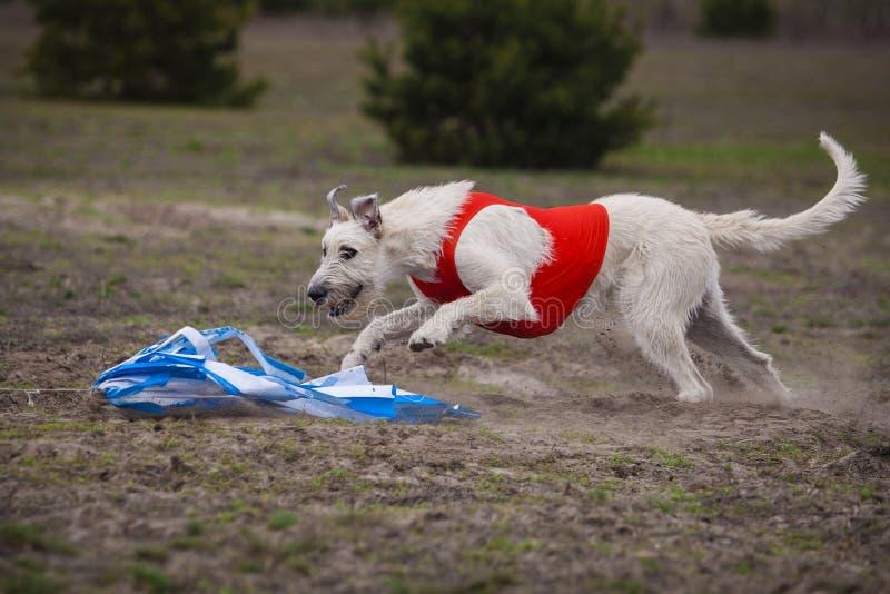 percorrer Cão do Wolfhound irlandês fotografia de stock royalty free