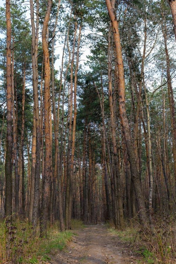 Percorso in abetaia il giorno soleggiato Natura e concetto della regione selvaggia Strada campestre in legno di pino immagini stock libere da diritti
