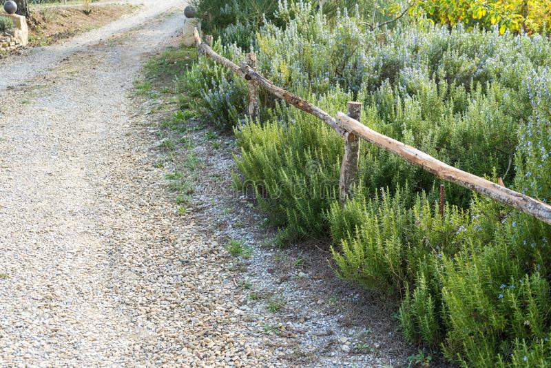Percorso accanto alle piante sboccianti dei rosmarini nell'orto domestico La Toscana Italia immagine stock libera da diritti