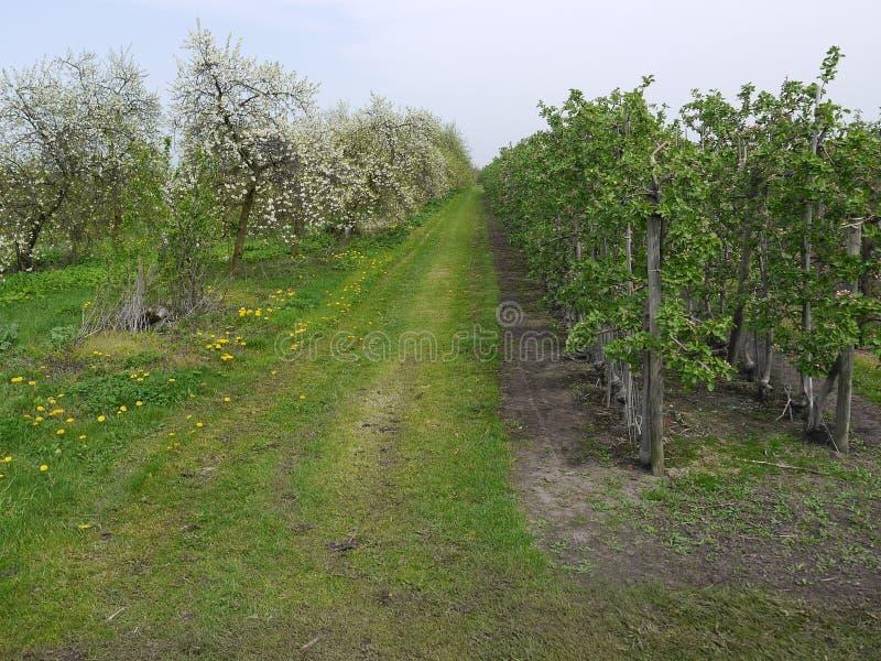 Percorso agricolo, a destra di giovani di melo che stanno poco prima la fioritura, a sinistra di loro Cher sbocciante immagini stock libere da diritti
