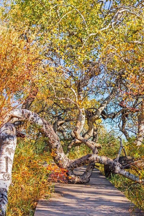 Percorso attraverso gli alberi di betulla curvati immagine stock