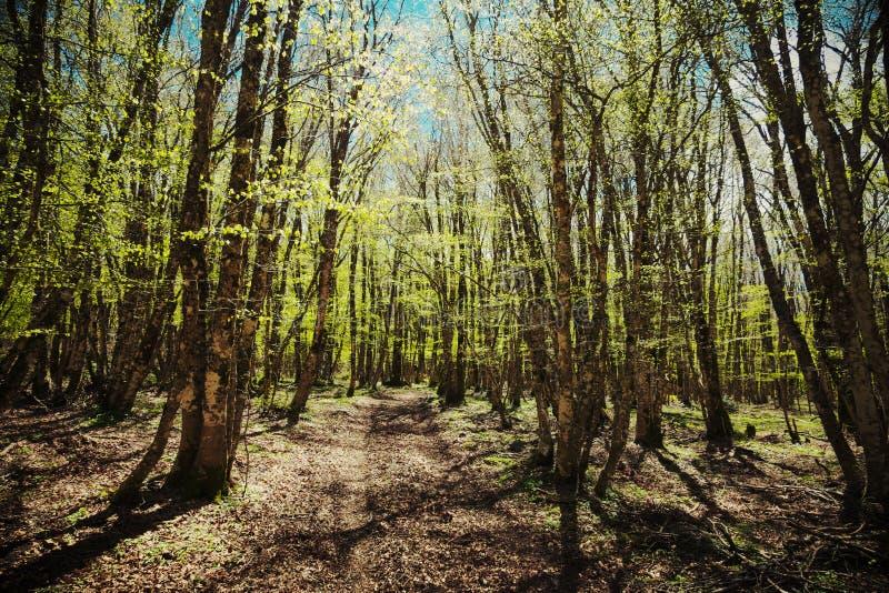 Percorso attraverso il legno di faggio della primavera immagini stock