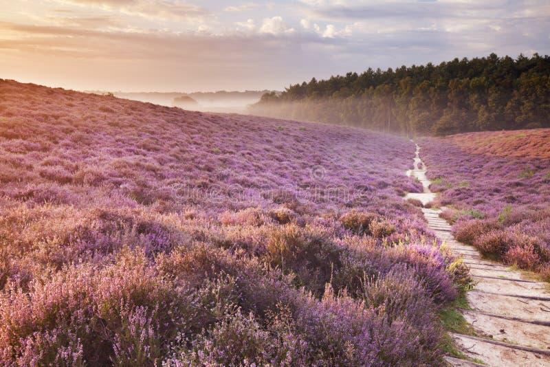 Percorso attraverso l'erica di fioritura ad alba nei Paesi Bassi fotografie stock libere da diritti