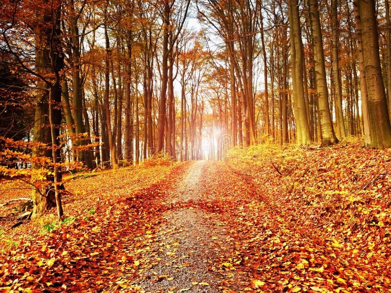 Percorso che conduce fra gli alberi di faggio nei colori freschi della foresta in anticipo di autunno immagini stock
