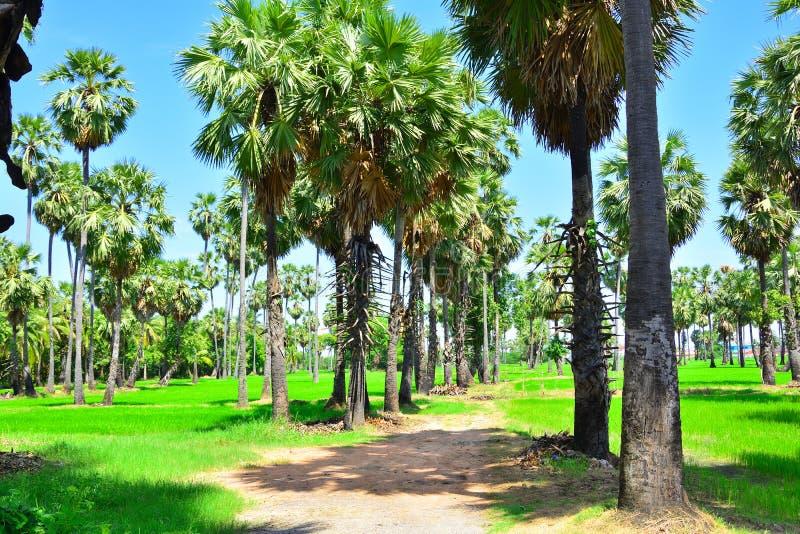 Percorso del giardino dell'albero della palma da zucchero con soleggiato fotografie stock
