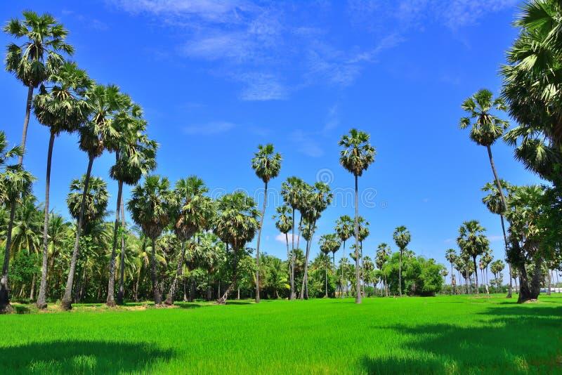 Percorso del giardino dell'albero della palma da zucchero con soleggiato fotografia stock