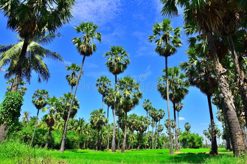 Percorso del giardino dell'albero della palma da zucchero con soleggiato in Tailandia fotografia stock libera da diritti