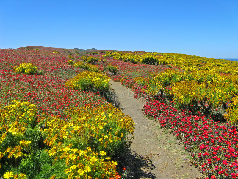 Percorso del Wildflower, Anacapa   immagini stock libere da diritti