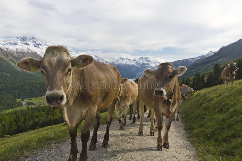 Percorso della montagna di trotto della mandria di mucche fotografie stock