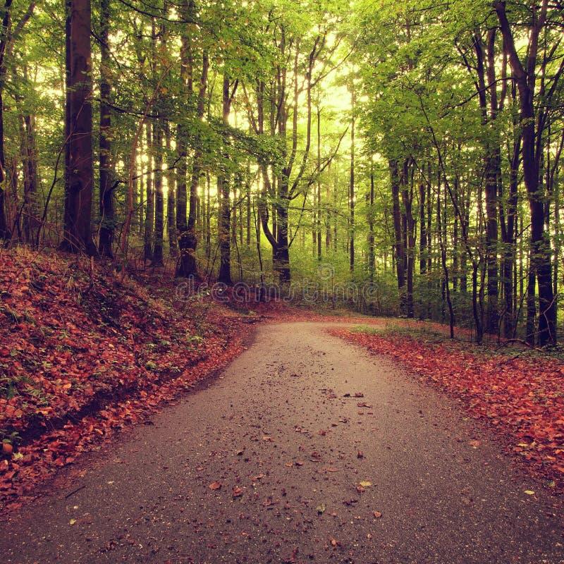 Percorso di asfalto che conduce fra gli alberi di faggio alla foresta vicina di autunno circondata da nebbia Giorno piovoso fotografia stock