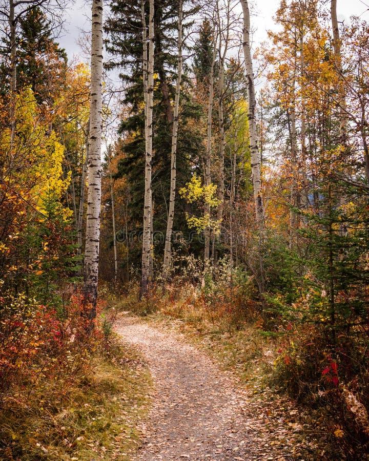 Percorso di camminata in Canmore, Alberta, con gli alberi di betulla di caduta ed i colori immagini stock