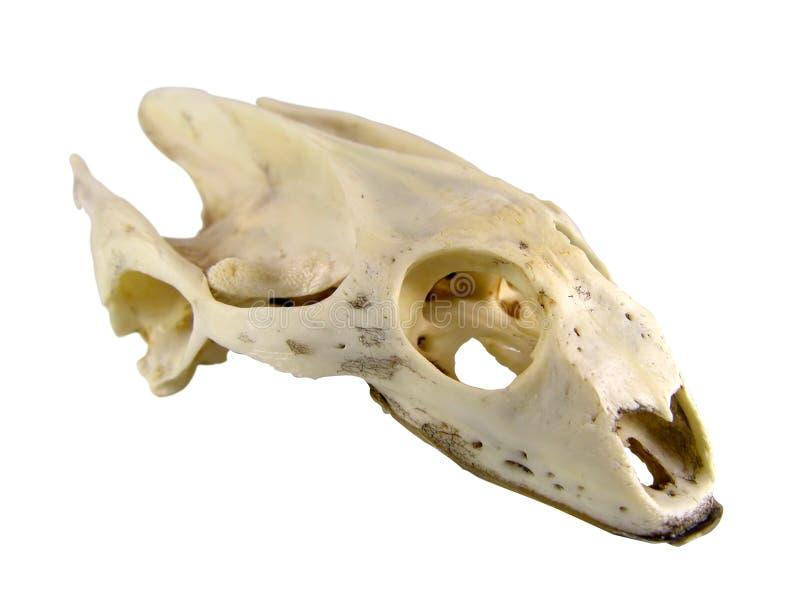 Percorso di cranio-residuo della potatura meccanica della tartaruga immagini stock