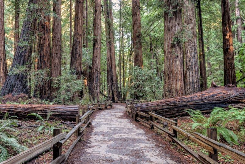 Percorso di Muir Woods National Monument Hiking immagini stock
