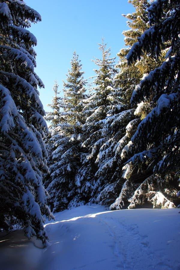 Percorso negli abeti nevosi della foresta sotto neve fotografia stock libera da diritti