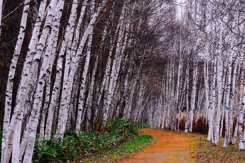 Percorso negli alberi di betulla immagine stock