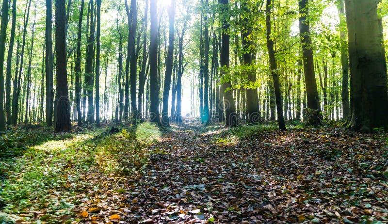 Percorso nel chiarore sommerso leggero della lente della foresta immagine stock libera da diritti