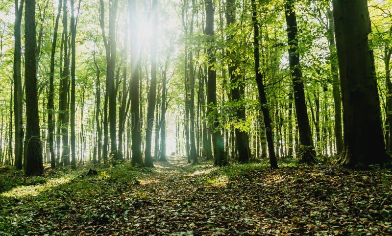 Percorso nel chiarore sommerso leggero della lente della foresta fotografia stock libera da diritti