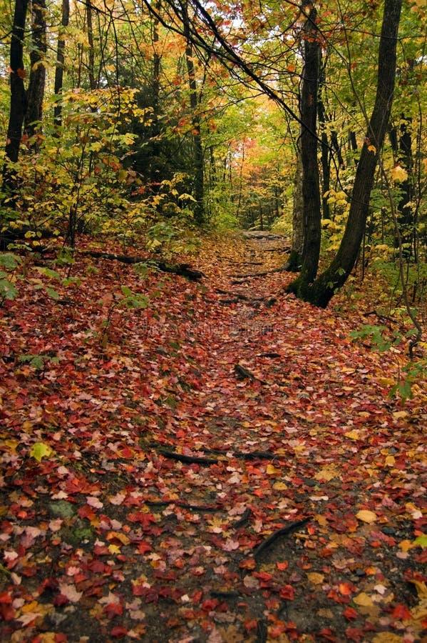 Percorso nella foresta dell'acero fotografia stock libera da diritti