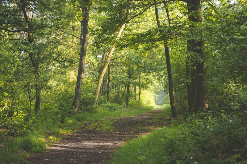 Percorso in sole della foresta che viene attraverso gli alberi con le ombre sul percorso passeggiata di primo mattino nell'en Ven immagine stock libera da diritti