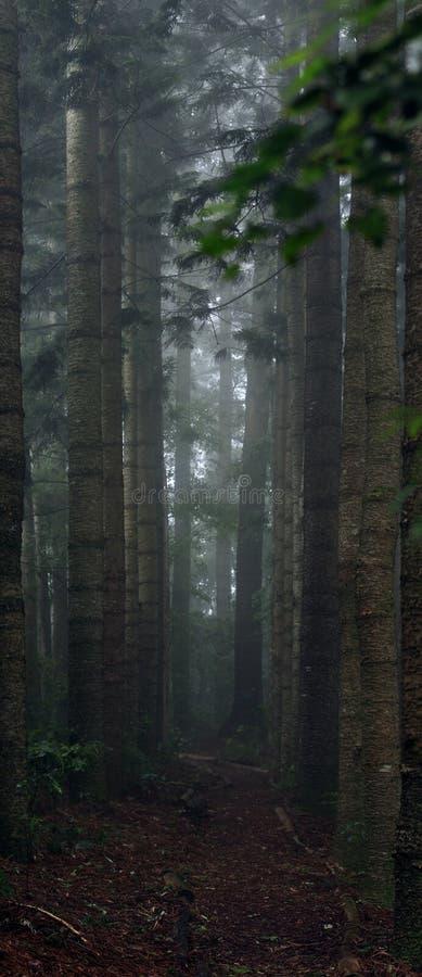 Percorso solo fra gli alberi alti immagine stock libera da diritti
