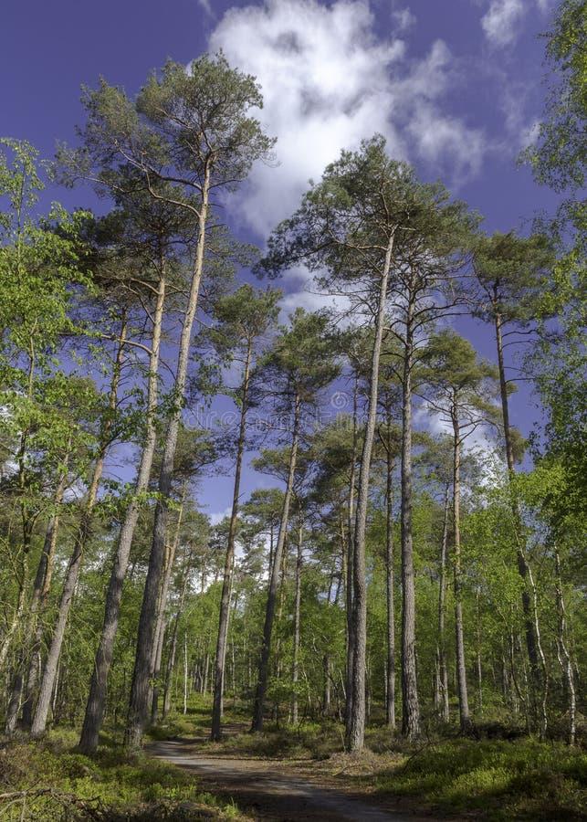 Percorso sotto i pini alti in una foresta, Epe, Veluwe, Paesi Bassi fotografie stock