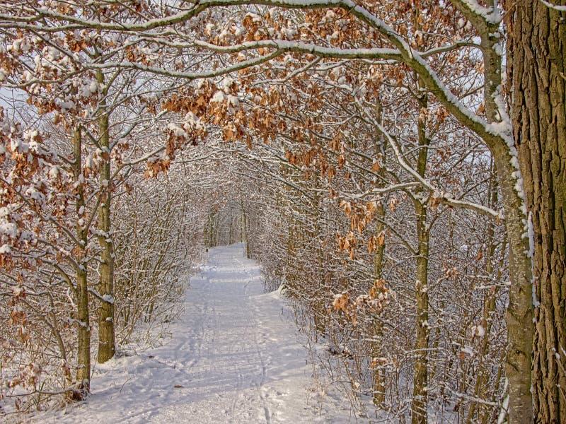 Percorso tramite un tunnel degli alberi e degli arbusti nudi di inverno, coperto in neve fotografia stock
