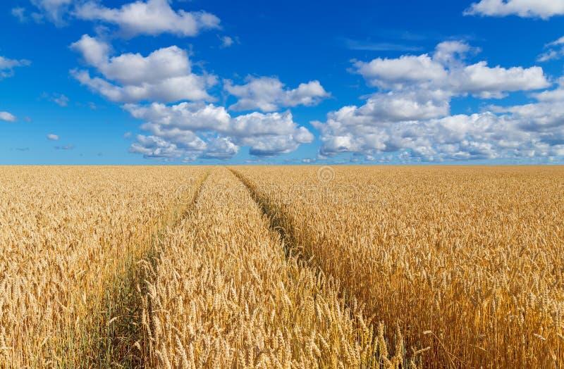 Percorso in un giacimento di grano dorato immagine stock libera da diritti