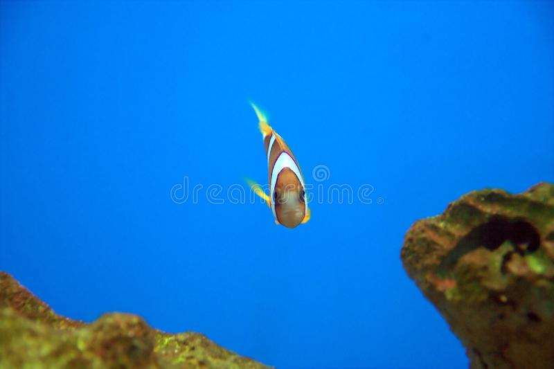 Percula Clown Fish royalty free stock photos