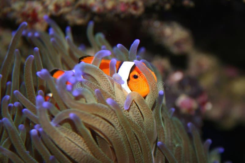 Percula del Amphiprion de Clownfish en anémona de mar del ordenador principal imágenes de archivo libres de regalías