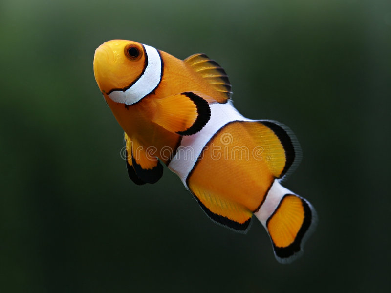 Percula do amphiprion dos peixes do palhaço conhecido como o nemo fotos de stock