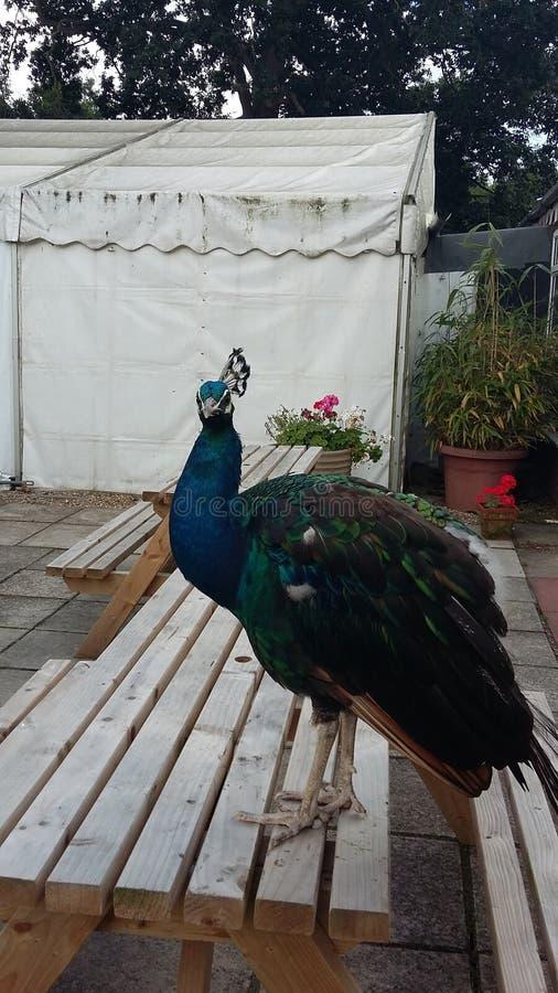 Percy Peacock från Norfolk arkivfoton