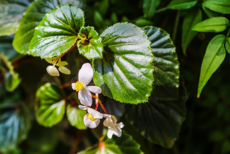Perda su dei fiori del gelsomino nel giardino in primavera o l'estate fotografia stock libera da diritti