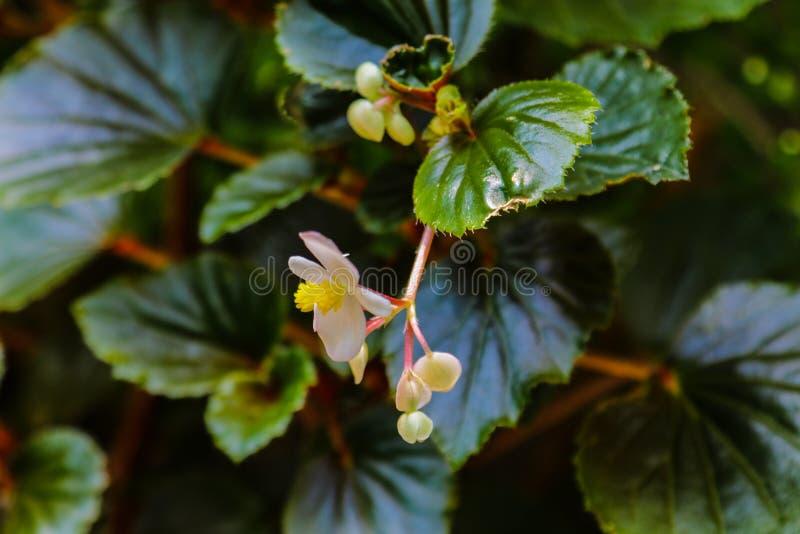 Perda su dei fiori del gelsomino nel giardino in primavera o l'estate immagine stock