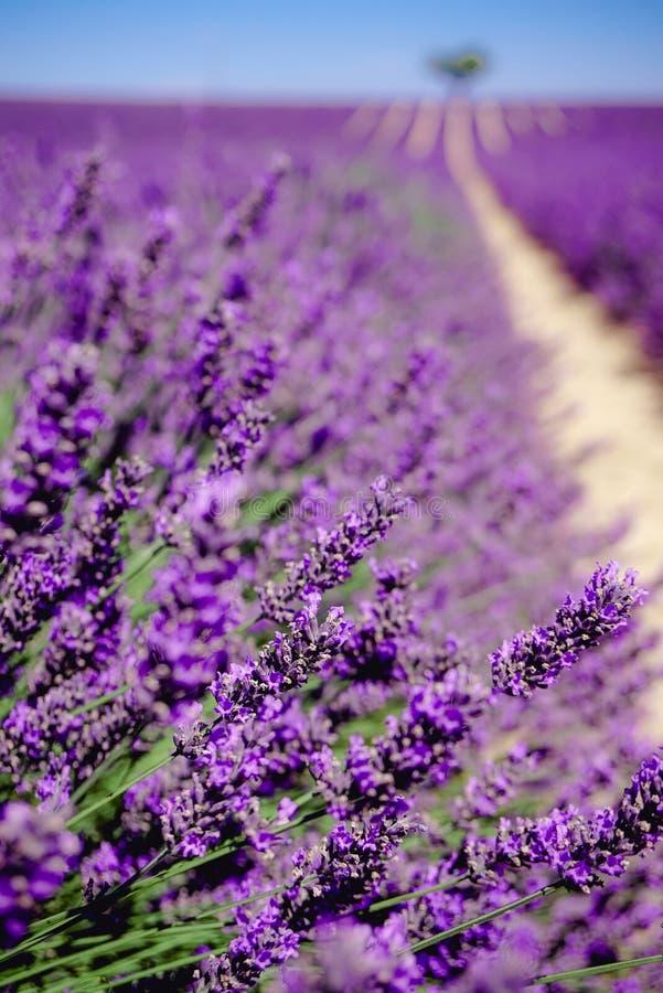 Perdido no campo da alfazema - Valensole, França - tão violeta! imagem de stock