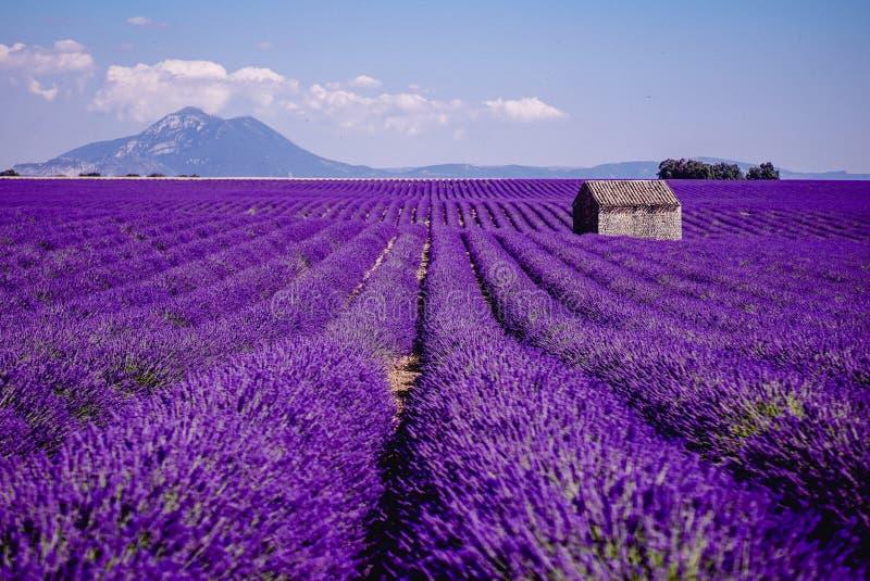 Perdido no campo da alfazema - Valensole, França - tão violeta! fotos de stock royalty free