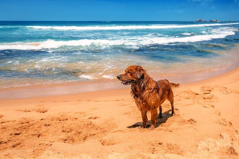 Perdigueiro Labrador do ouro na praia imagem de stock royalty free