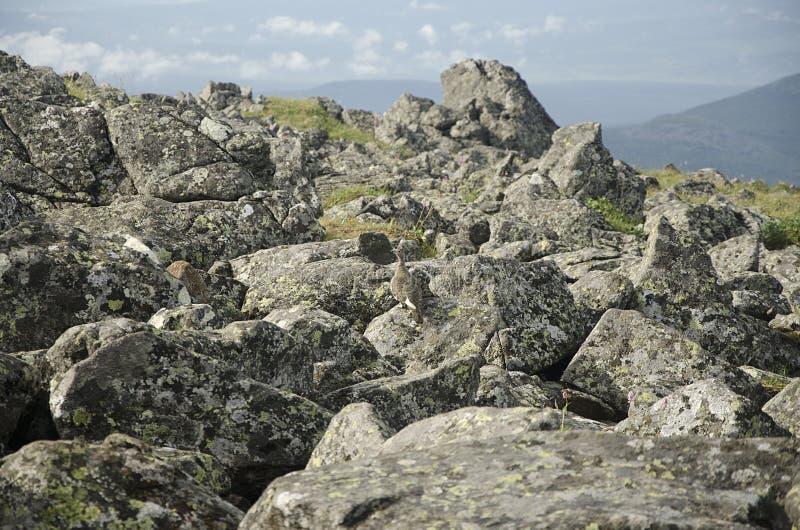 Perdiz selvagem nas rochas na parte superior das montanhas de Ural fotografia de stock