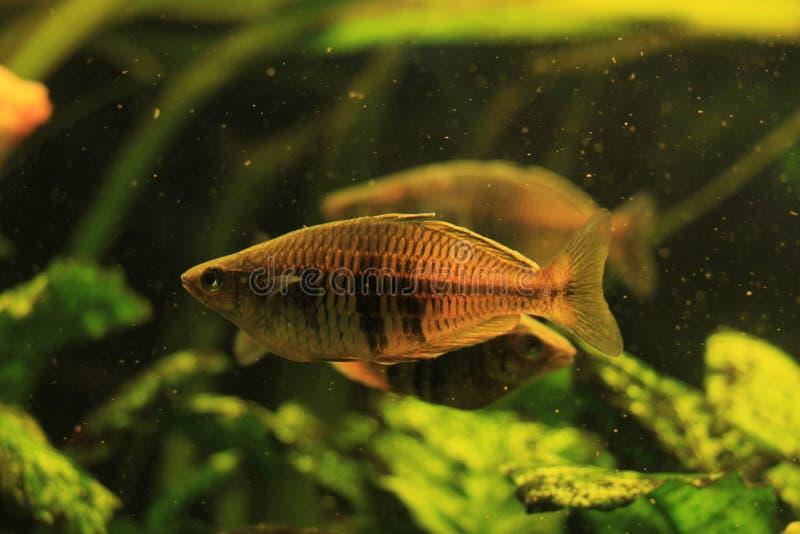 Perełkowa gourami ryba obrazy stock