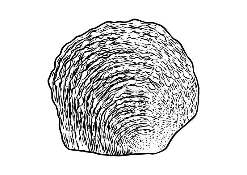 Perełkowa ostrygowej skorupy ilustracja, rysunek, rytownictwo, atrament, realistyczny ilustracja wektor