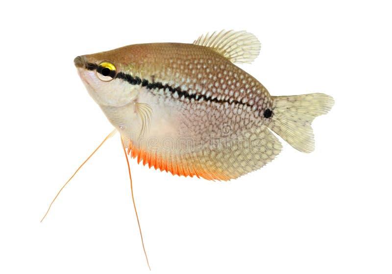 Perełkowego gourami Trichopodus leerii akwarium słodkowodna ryba odizolowywająca na bielu obrazy stock