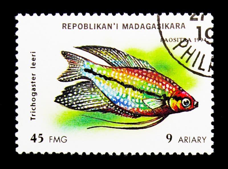 Perełkowy Gourami, akwarium rybi seria około 1, (Trichogaster leeri) zdjęcia stock