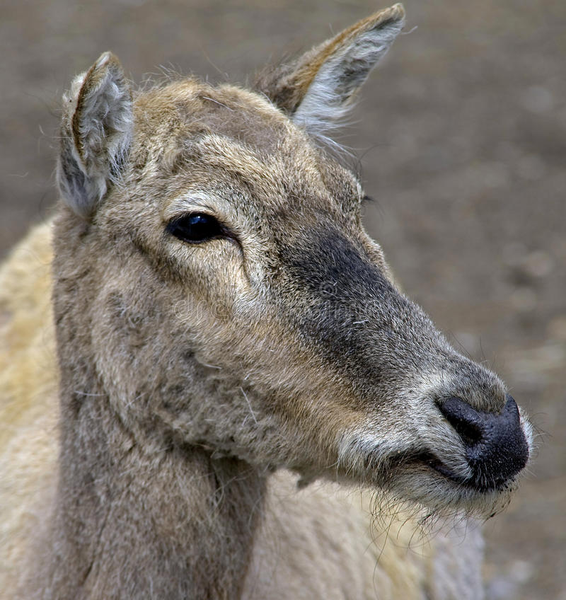 Free Pere David`s Deer 2 Royalty Free Stock Photography - 9512567