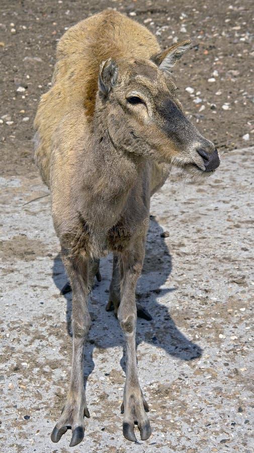Free Pere David`s Deer 4 Stock Images - 9743654