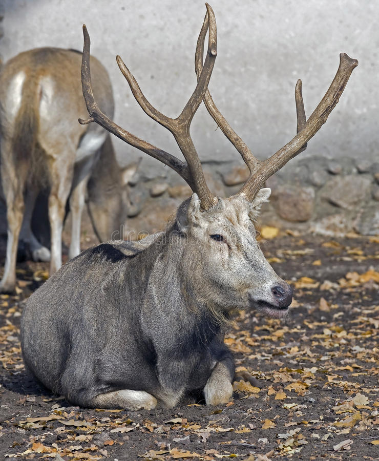 Free Pere David`s Deer 6 Royalty Free Stock Photography - 34565777