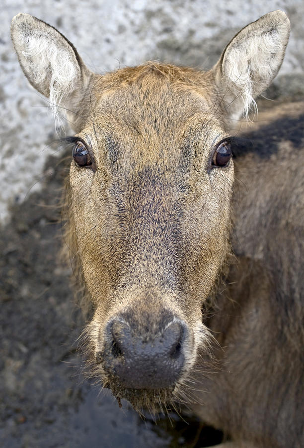 Free Pere David`s Deer 8 Royalty Free Stock Image - 21201916