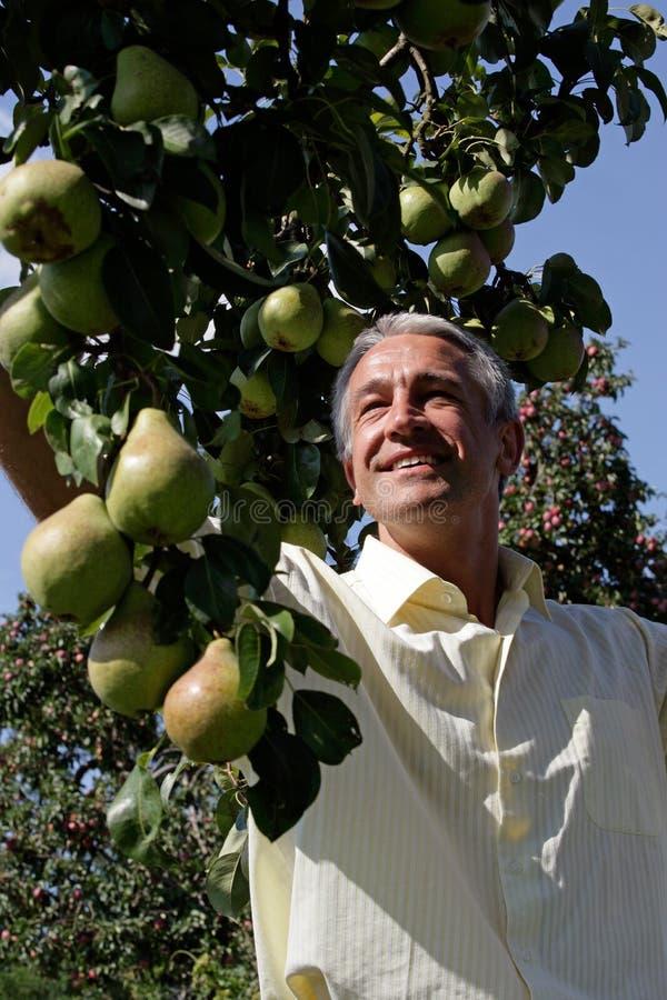 Pere di raccolto dell'uomo in frutteto immagine stock