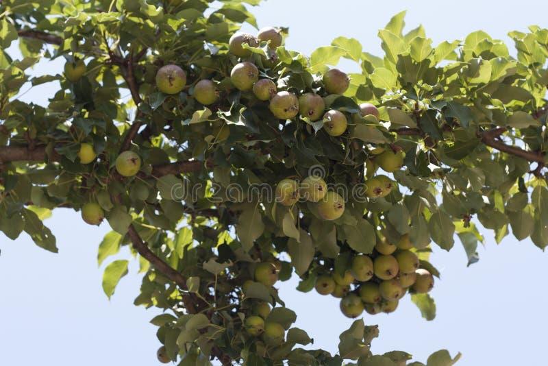 Pere organiche mature della cultivar della pera nella foto del giardino di estate immagine stock