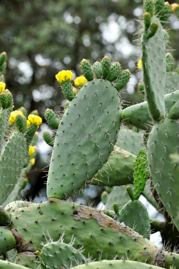 Pere piccante con fiori gialli in primavera immagine stock libera da diritti